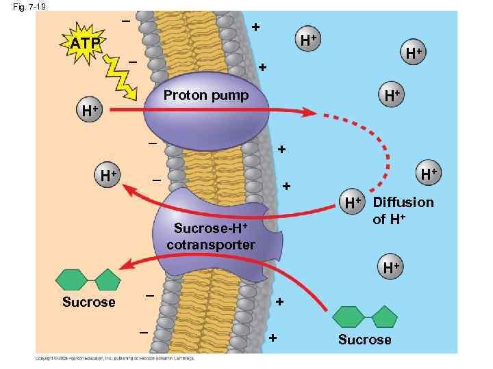 Fig. 7 -19 – + ATP – H+ H+ + Proton pump H+ H+