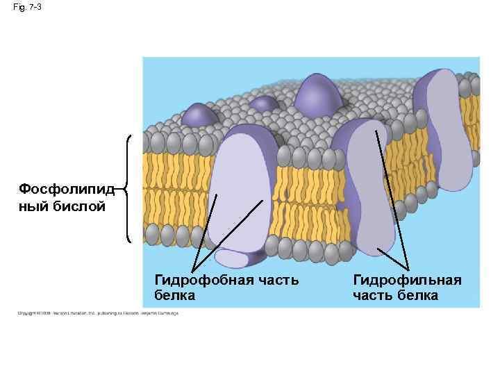 Fig. 7 -3 Фосфолипид ный бислой Гидрофобная часть белка Гидрофильная часть белка