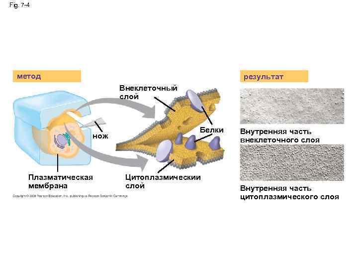 Fig. 7 -4 метод результат Внеклеточный слой нож Плазматическая мембрана Белки Цитоплазмическии слой Внутренняя