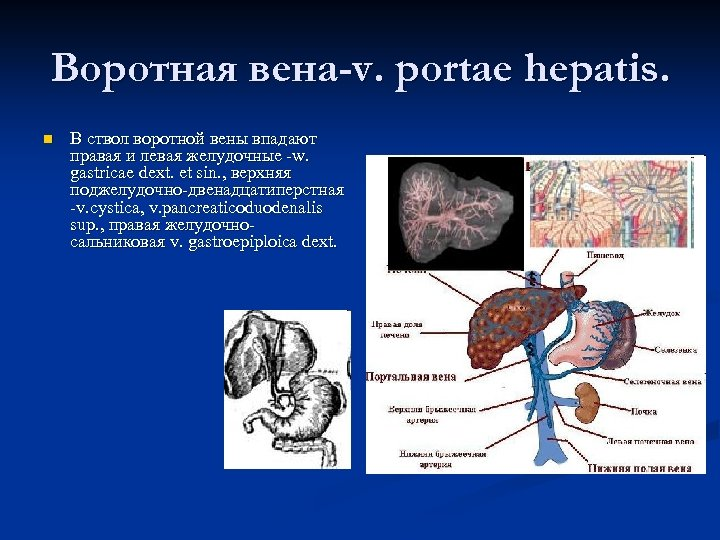 Воротная вена-v. portae hepatis. n В ствол воротной вены впадают правая и левая желудочные