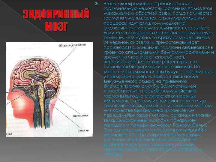 ЭНДОКРИННЫЙ МОЗГ Чтобы своевременно отреагировать на гормональную недостачу, организм пользуется механизмом обратной связи.