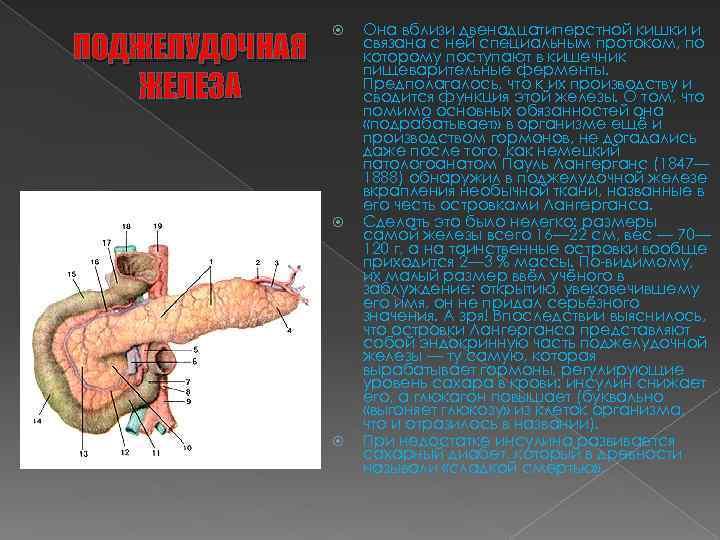 ПОДЖЕЛУДОЧНАЯ ЖЕЛЕЗА Она вблизи двенадцатиперстной кишки и связана с ней специальным протоком, по которому