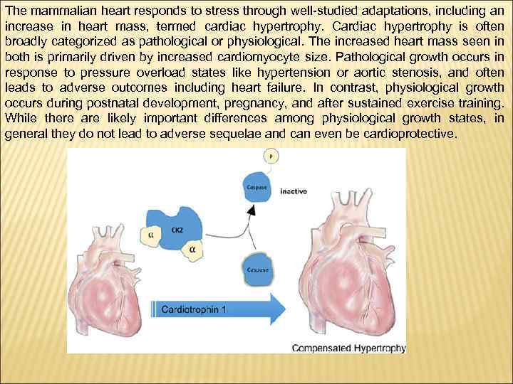 The mammalian heart responds to stress through well-studied adaptations, including an increase in heart