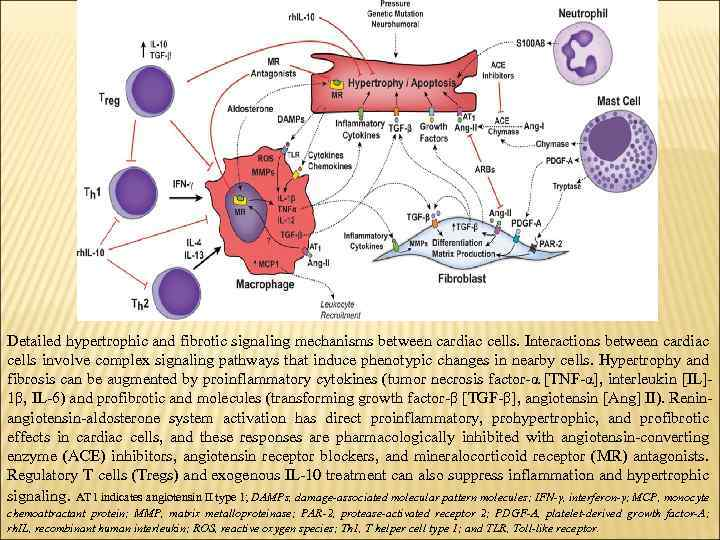 Detailed hypertrophic and fibrotic signaling mechanisms between cardiac cells. Interactions between cardiac cells involve