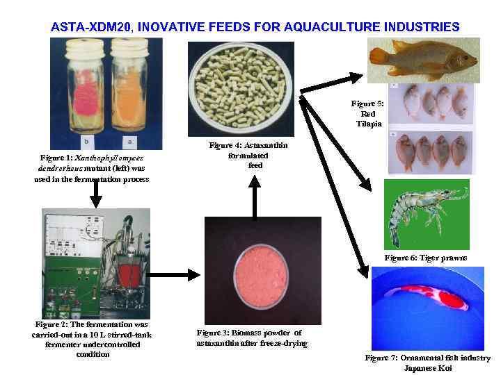 ASTA-XDM 20, INOVATIVE FEEDS FOR AQUACULTURE INDUSTRIES Figure 5: Red Tilapia Figure 1: Xanthophyllomyces