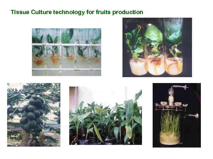 Tissue Culture technology for fruits production