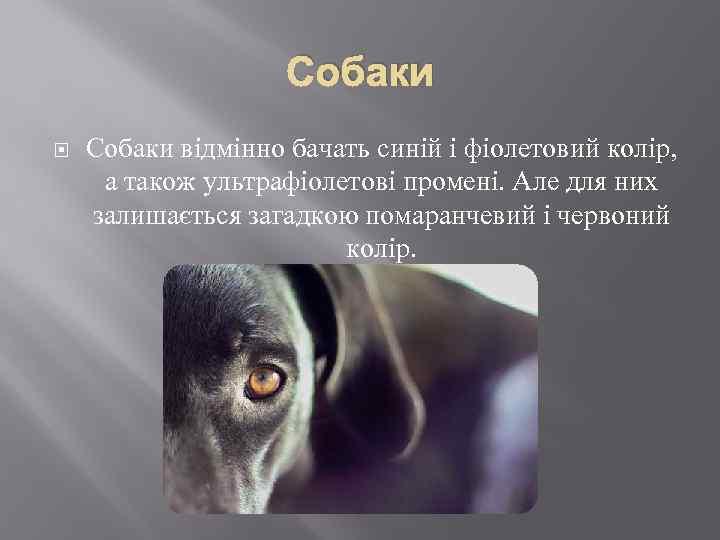 Собаки відмінно бачать синій і фіолетовий колір, а також ультрафіолетові промені. Але для них