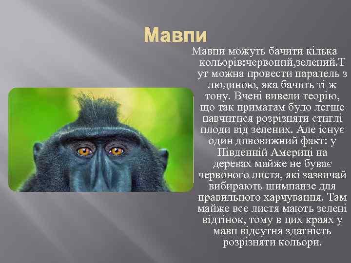 Мавпи можуть бачити кілька кольорів: червоний, зелений. Т ут можна провести паралель з людиною,
