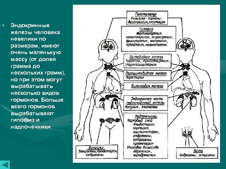 • Эндокринные железы человека невелики по размерам, имеют очень маленькую массу (от долей