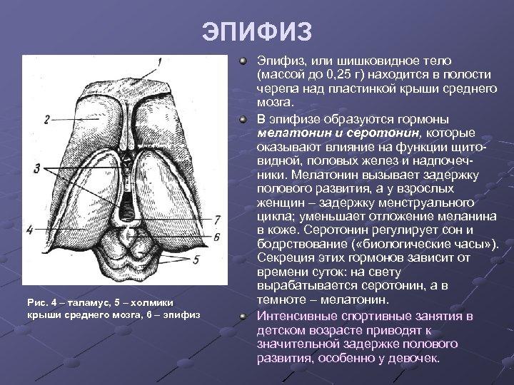 ЭПИФИЗ Рис. 4 – таламус, 5 – холмики крыши среднего мозга, 6 – эпифиз