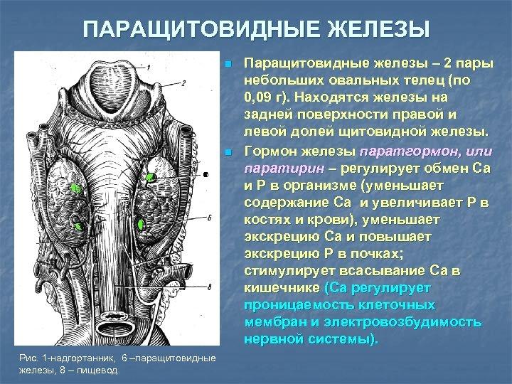 ПАРАЩИТОВИДНЫЕ ЖЕЛЕЗЫ n n 6 6 Рис. 1 -надгортанник, 6 –паращитовидные железы, 8 –