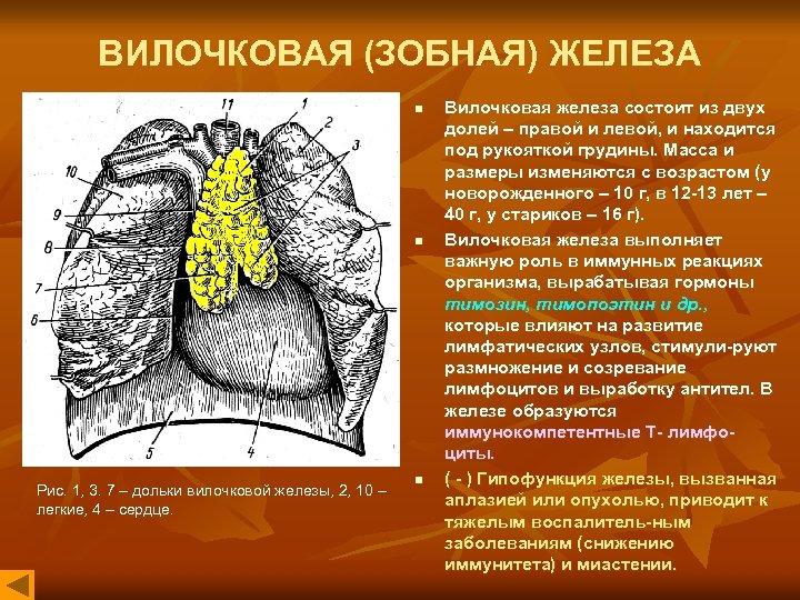 ВИЛОЧКОВАЯ (ЗОБНАЯ) ЖЕЛЕЗА n n Рис. 1, 3. 7 – дольки вилочковой железы, 2,