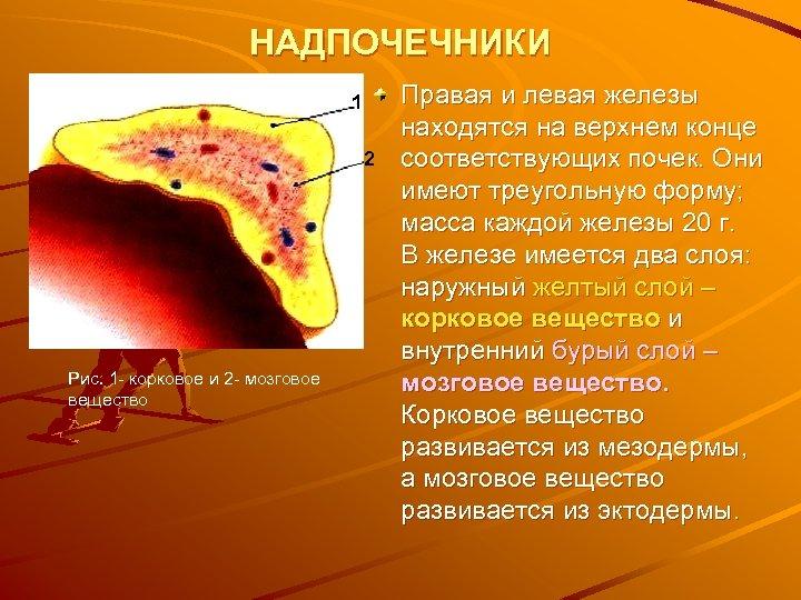 НАДПОЧЕЧНИКИ 1 2 Рис. 1 - корковое и 2 - мозговое вещество Правая и