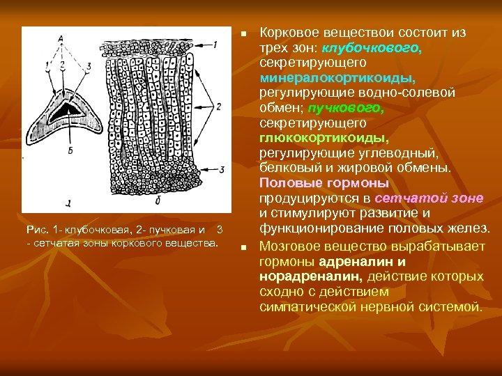 n Рис. 1 - клубочковая, 2 - пучковая и 3 - сетчатая зоны коркового