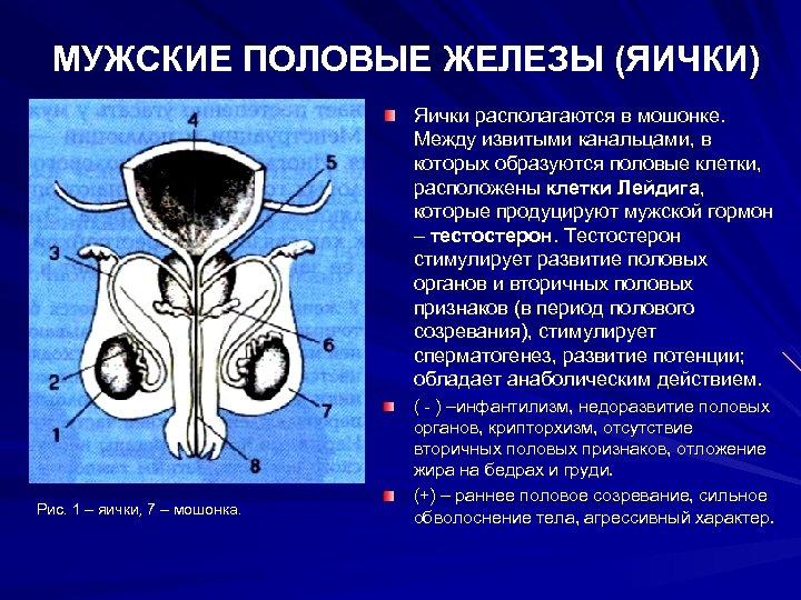 МУЖСКИЕ ПОЛОВЫЕ ЖЕЛЕЗЫ (ЯИЧКИ) Яички располагаются в мошонке. Между извитыми канальцами, в которых образуются