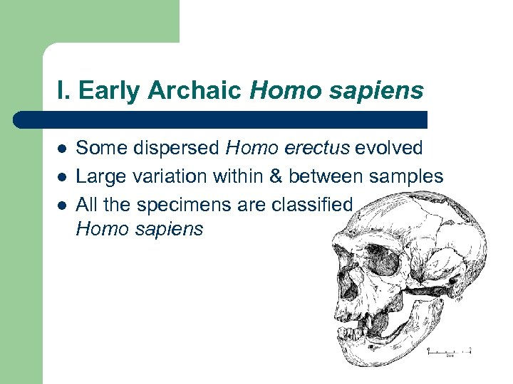 I. Early Archaic Homo sapiens l l l Some dispersed Homo erectus evolved Large