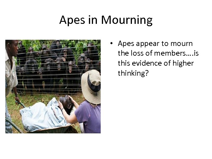 Apes in Mourning • Apes appear to mourn the loss of members…. is this