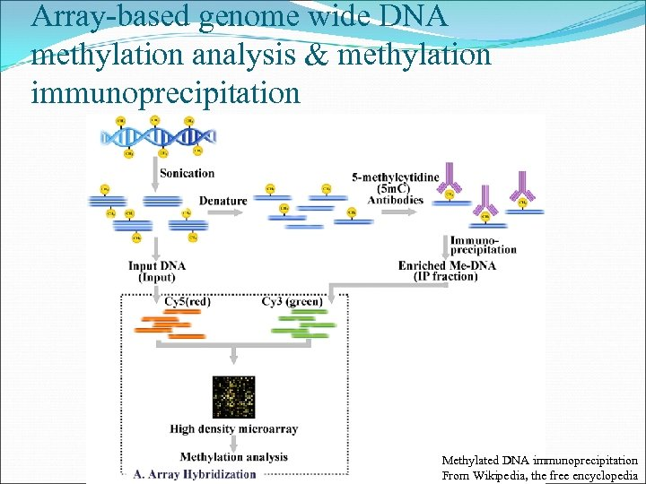 Array-based genome wide DNA methylation analysis & methylation immunoprecipitation Methylated DNA immunoprecipitation From Wikipedia,