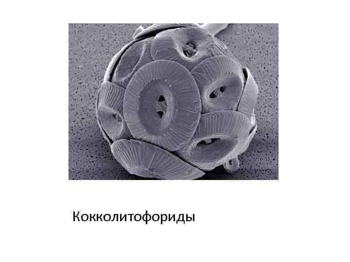 Кокколитофориды