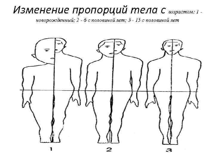 Изменение пропорций тела с возрастом: 1 новорожденный; 2 - 6 с половиной лет; 3