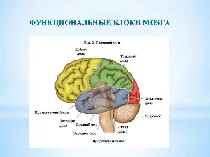 Три блока мозга картинка