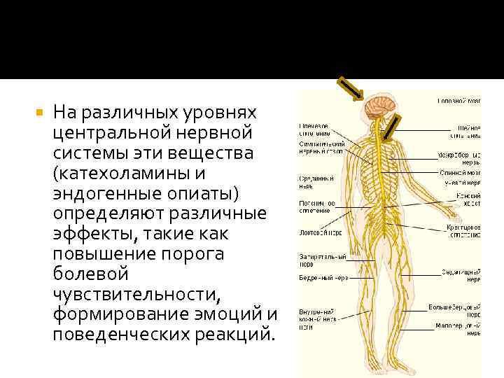 На различных уровнях центральной нервной системы эти вещества (катехоламины и эндогенные опиаты) определяют