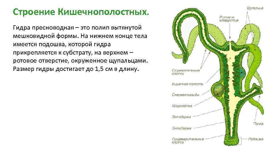 Схема пресноводной гидры