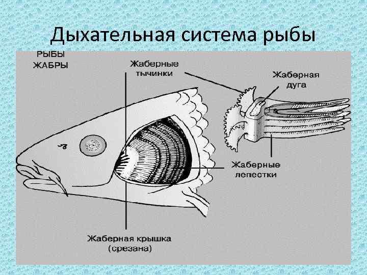 Дыхательная система рыбы