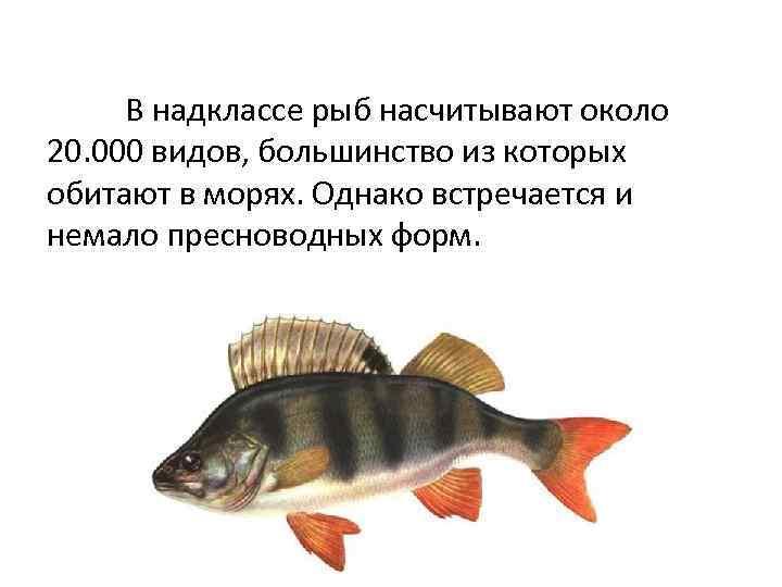В надклассе рыб насчитывают около 20. 000 видов, большинство из которых обитают в морях.