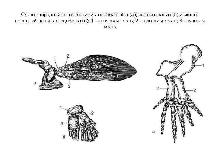 Скелет передней конечности кистеперой рыбы (а), его основание (б) и скелет передней лапы стегоцефала