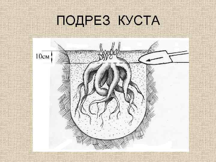 ПОДРЕЗ КУСТА