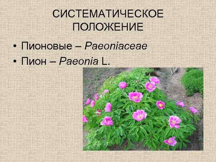 СИСТЕМАТИЧЕСКОЕ ПОЛОЖЕНИЕ • Пионовые – Paeoniaceae • Пион – Paeonia L.