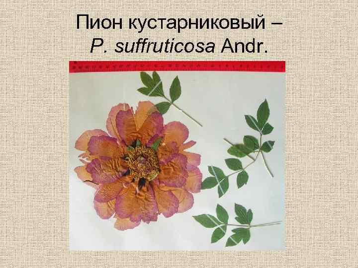 Пион кустарниковый – P. suffruticosa Andr.