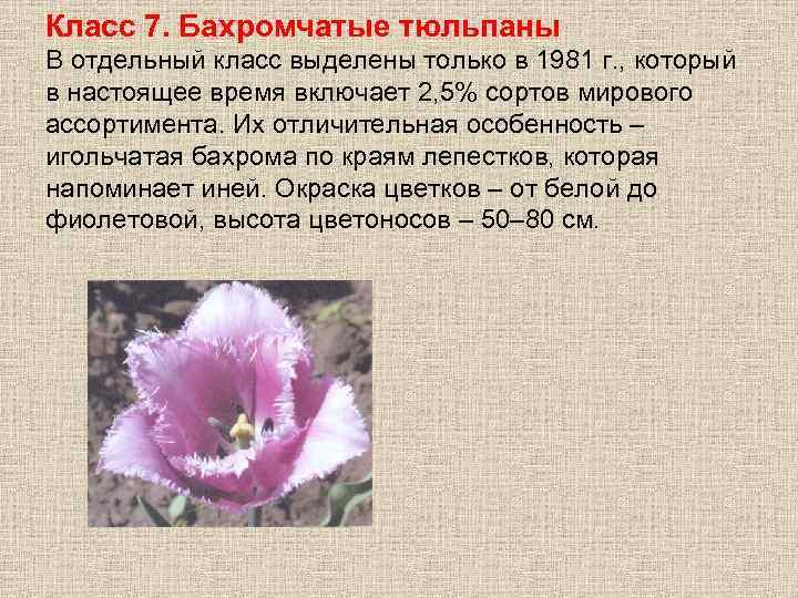 Класс 7. Бахромчатые тюльпаны В отдельный класс выделены только в 1981 г. , который