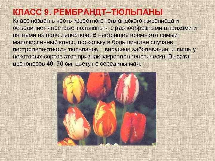 КЛАСС 9. РЕМБРАНДТ–ТЮЛЬПАНЫ Класс назван в честь известного голландского живописца и объединяет «пестрые тюльпаны»
