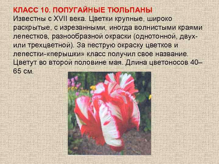 КЛАСС 10. ПОПУГАЙНЫЕ ТЮЛЬПАНЫ Известны с ХVII века. Цветки крупные, широко раскрытые, с изрезанными,