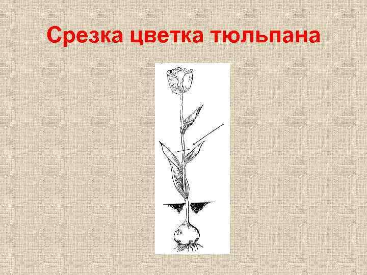 Срезка цветка тюльпана