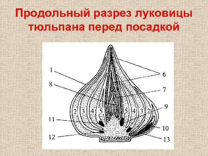 Продольный разрез луковицы тюльпана перед посадкой