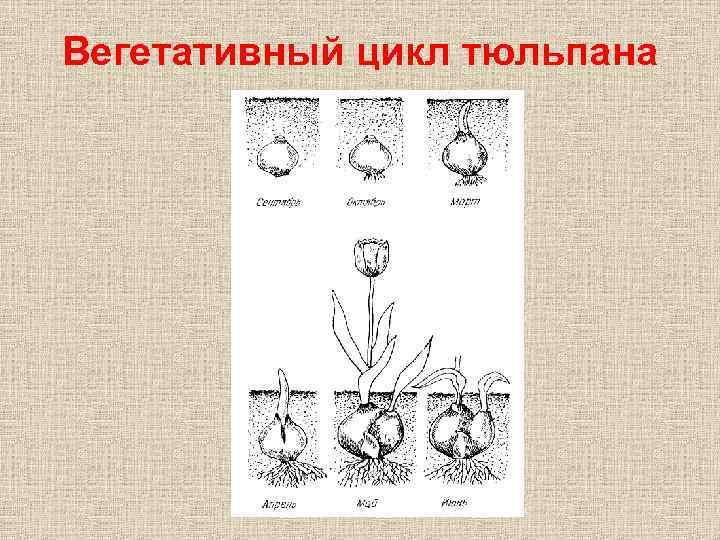 Вегетативный цикл тюльпана