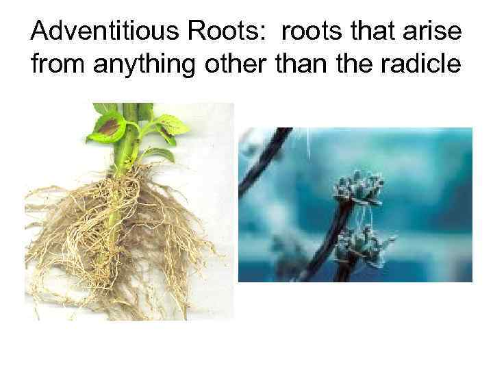 Adventitious Roots: roots that arise from anything other than the radicle