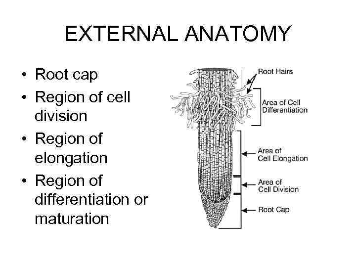 EXTERNAL ANATOMY • Root cap • Region of cell division • Region of elongation