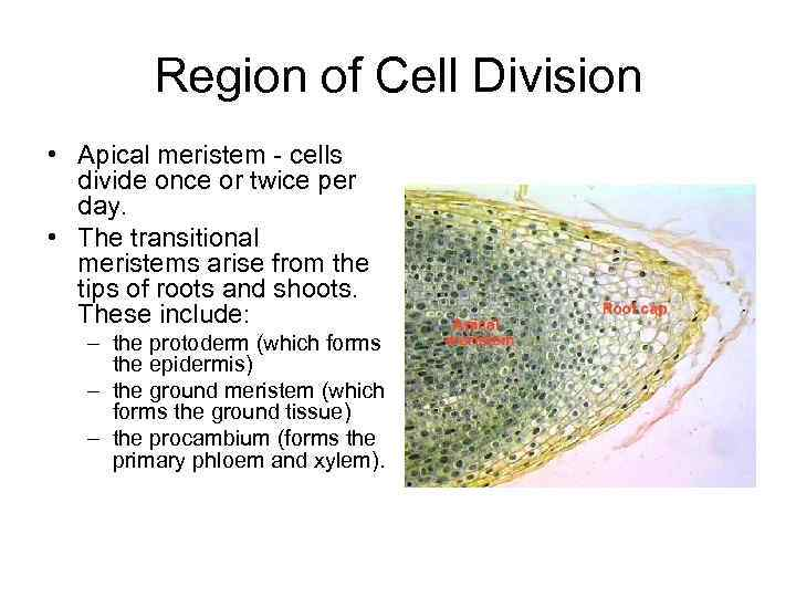 Region of Cell Division • Apical meristem - cells divide once or twice per