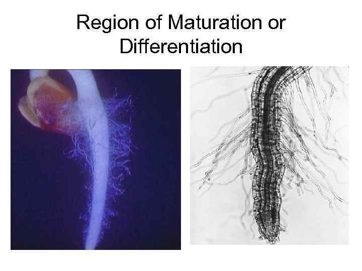 Region of Maturation or Differentiation