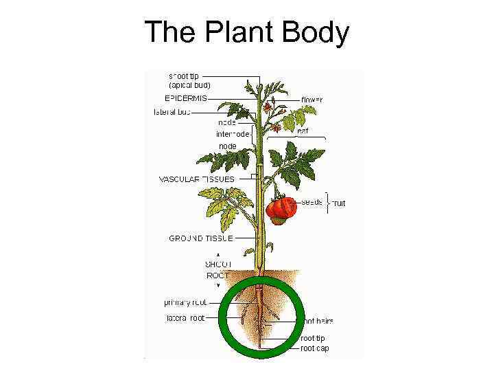 The Plant Body