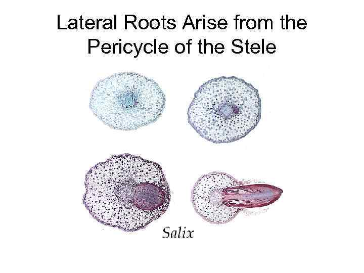 Lateral Roots Arise from the Pericycle of the Stele