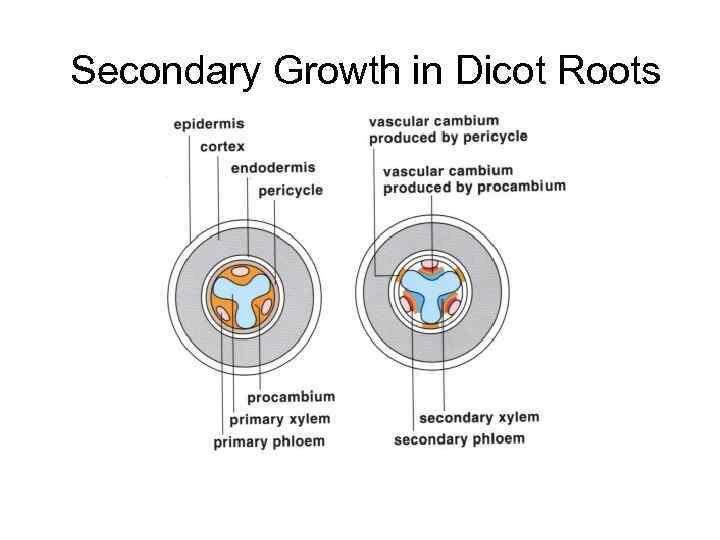 Secondary Growth in Dicot Roots