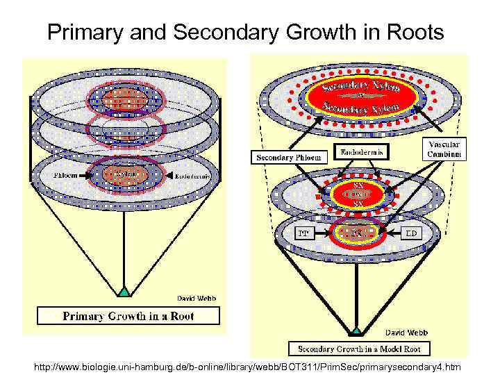 Primary and Secondary Growth in Roots http: //www. biologie. uni-hamburg. de/b-online/library/webb/BOT 311/Prim. Sec/primarysecondary 4.