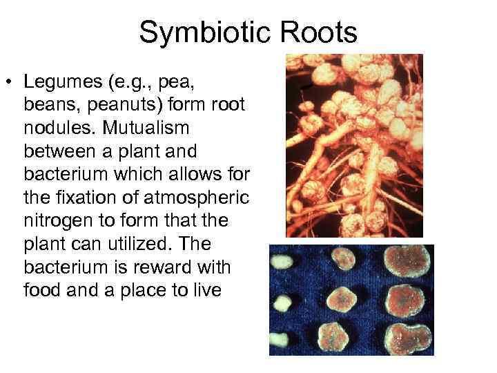 Symbiotic Roots • Legumes (e. g. , pea, beans, peanuts) form root nodules. Mutualism