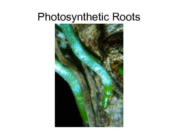 Photosynthetic Roots