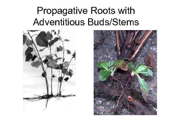 Propagative Roots with Adventitious Buds/Stems